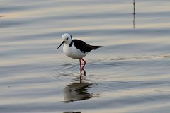 Treading Softly as We Go (armct) Tags: himantopus stilt blackwinged wader waterbird bird currumbincreek estuary lagoon goldcoast queensland skinny ripples tide incoing hunting fishing early morning calm serene serenity peaceful watchful prowl alert