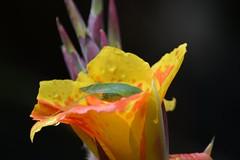 Parque El Salado Envigado (camiloadolfozabala) Tags: nikond3400 saltamontes grasshopper flores flower envigado