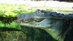 Loro Parque (ow54) Tags: teneriffa tenerife krokodil reptilie crocodile loropark loroparque zoo tier tierpark