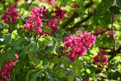 Red horse-chestnut (petrOlly) Tags: europe europa germany deutschland regensburg city sk2018 nature natura przyroda flower flowers tree trees