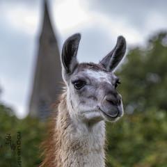 Llama drama ding dong (rogueslr) Tags: canon 7d mkii photoshop 2018 cc llama church rural trees square whatton notts nottinghamshire uk