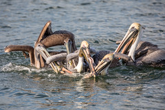 Fish Scrap Frenzy! (Linda Martin Photography) Tags: pelecanusoccidentalis wildlife nature bird brownpelican birds us florida animal coth alittlebeauty coth5 naturethroughthelens ngc