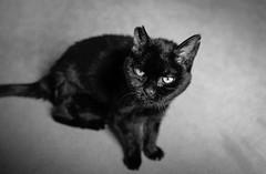 2018_235 (Chilanga Cement) Tags: fuji fujix100f fujifilm xseries x100f 100f cat catsofflickr cats kitty bw blackandwhite monochrome whiskers whisker