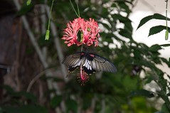 No Id - Tropical butterfly (douneika) Tags: tropical butterfly farfalla tropicale