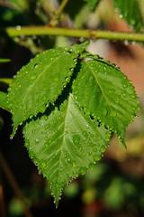 Lots of drops (Steenjep) Tags: have garden macro makro closeup bald leaf dråbe drop brombær bær berry rain sun refleks reflex