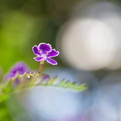 Skyflower (The Flying Inn) Tags: durantaerecta kennettsquare longwoodgardens nature skyflower bokeh floral flower geishagirl pennsylvania