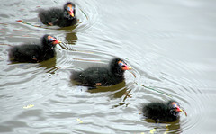 Moorhen chicks on the canal (Tony Worrall) Tags: preston lancs lancashire city welovethenorth nw northwest update place location uk england north visit area attraction open stream tour country item greatbritain britain english british gb capture buy stock sell sale outside outdoors caught photo shoot shot picture captured ashtononribble ashton nature natural seasonal chicks cute baby moorhen wild wildlife swim wet water