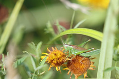Conocephalus fuscus (m) (Roy Lowry) Tags: conocephalusfuscus cricket longwingedconehead londonwetlandcentre