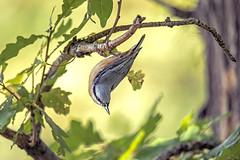 Nuthatch (boogie1670) Tags: canon 5d mark iv sigma 150600mm sports nuthatch wildlifebritish woodland wild britishbirds ngc yorkshire birds britain