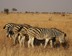 AgainstTheFlow (Wolfram Burner) Tags: kruger sa southafrica wildlife conservation natural history naturalhistory wolfram burner africa