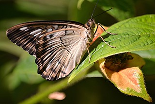Clipper with brown spotted eye sitting on fuzzy Hot Lips leaf