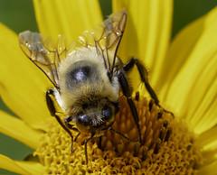 Bee_SAF3713-2 (sara97) Tags: bee copyright©2018saraannefinke flower flyinginsect insect missouri nature photobysaraannefinke pollinator saintlouis towergrovepark