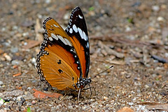Hypolimnas misippus - the Danaid Eggfly (female) (BugsAlive) Tags: butterfly mariposa papillon farfalla 蝴蝶 schmetterling бабочка conbướm ผีเสื้อ animal outdoor insects insect lepidoptera macro nature nymphalidae hypolimnasmisippus danaideggfly female danainae wildlife doisutheppuinp chiangmai ผีเสื้อในประเทศไทย liveinsects thailand thailandbutterflies nikon105mm bugsalive ผีเสื้อปีกไข่เมียเลียน