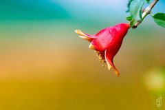 Pomegranate flower (kamal_aljahed) Tags: fruit healthy flower close up green nature red plant food art