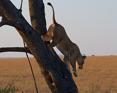 IMGP8153 Back to the ground (Claudio e Lucia Images around the world) Tags: lion lioness tree climbing jump jumping serengeti tanzania africa cat bigcat feline savana sunrise pentax pentaxk3ii sigma sigma50500 bigma sigmaart pentaxart nationalgeographic africageographic animale erba cielo