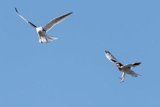 DSC_0748.jpg juvenile White-tailed Kites, Natural Bridges