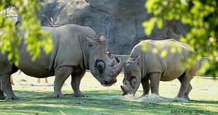 2018-09 (75) Mama Kayla and baby Rudo - White Rhinos