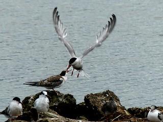 Common Tern feeding 12.9.18