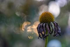 Autumn? (agnieszka.a.morawska) Tags: nikon helios helios44m bkhq beyondbokeh bokehlicious macro dof bokeh garden echinacea autumn