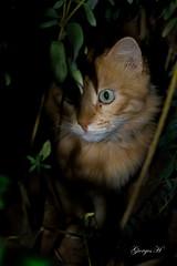 IMG_0372c (Giorgos H) Tags: greece giorgos h light mystery night darkness leaf hiding hide animal yard garden cat