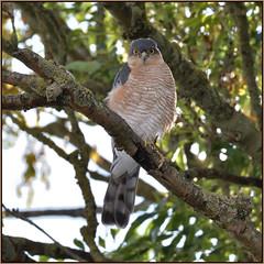 Sparrowhawk (Full Moon Images) Tags: wildlife nature garden cambridgeshire bird birdofprey male sparrowhawk