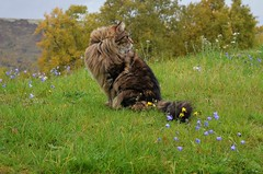Elvis helt på jordet! (KvikneFoto) Tags: mf tamron nikon høst autumn fall katt cat elvis