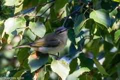 Red-eyed Vireo (Douglas M. Winn) Tags: vireo songbird redeyedvireo northshore vireoolivaceus
