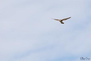 faucon crecerelle-0051_signée