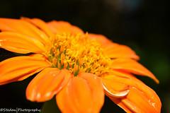 Orange Petals (stedanphotography) Tags: flower nikon d3300 macro