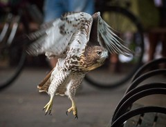 Tompkins Square red-tail fledgling (Goggla) Tags: fledgling a2 nyc new york east village tompkins square park urban wildlife bird raptor red tail hawk 2 bench