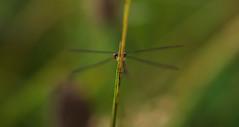aug18 2018 5 (Delena Jane) Tags: delenajane dfo damselfly dragonfly macro bigeyes newfoundland ngc canada closeup insect