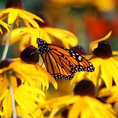 Joli monarque // pretty monarch #papillon #butterfly #farfalla (jgoulet005) Tags: butterfly papillon farfalla wildlife insects monarch monarque wildlifeofcanada wildlifeofquebec canada quebec canon70d