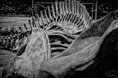 Little Bones (Vanessa wuz Here) Tags: 105mm 7dwf bw bones toronto torontozoo ontario summer textures
