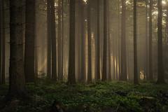 forest series #81 (Stefan A. Schmidt) Tags: warstein nordrheinwestfalen deutschland de forest dust fog trees sunbeam pentaxart