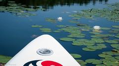 On a Nixy California paddle board exploring a lily pond. (kuntheaprum) Tags: paddleboarding photography stearnspond lotus flower mushroom nixy nikon d80 50mm f18