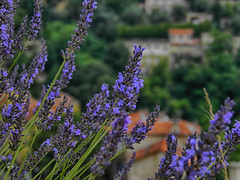 Mountain lavender blooms (janepesle) Tags: flowers france europe travel nature macro blossom lavender landscape provence summer франция европа путешествие природа лаванда лето цветение цветы
