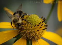 The Chase (HMM) (13skies) Tags: emilydickinson poem definingbeauty macromondays bee flower food beauty beautiful close macroscopic persistance sonyalpha100 hmm macro macromonday happymacromondays