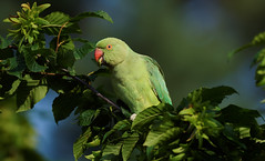 A Rose Ringed Parakeet in a tree / une perruche a collier dans un arbre (1/4) : suprise ! (Franck Zumella) Tags: perruche perroquet collier vert rouge parakeet rose ringed 앵무새 bird oiseau wildlife nature green yellow jaune animal red food summer eat beak close closeup portrait a7s 150600 tamron