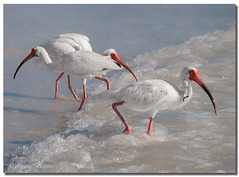 American White Ibis (Betty Vlasiu) Tags: american white ibisamerican ibis eudocimus albus bird nature wildlife florida