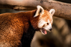 Red Panda at NZ 3-0 F LR 8-26-18 J017 (sunspotimages) Tags: animal animals wildlife nature redpanda redpandas zoos zoo zoosofnorthamerica nationalzoo fonz fonz2018
