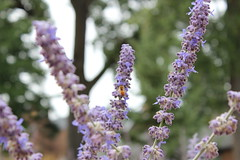 August 20, 2018 (University of Minnesota, Morris Alumni Association) Tags: summer summercampus bees bee flower plants flowers