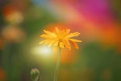 Where the Magic Happens... (KissThePixel) Tags: magic magical garden gardenscape bokeh bokehlicious macro light sunlight summer augusut flower orange rainbow colours colour bright beautiful nikon nikond750 sigma f28 sigma70200mm