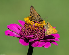 Two skippers meet at the flower bar (Fred Roe) Tags: nikond810 nikkorafs80400mmf4556ged nature wildlife insect flowers butterfly macro