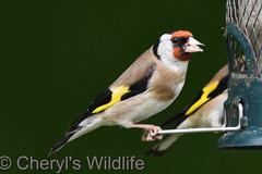 Goldfinch (Cheryl's Wildlife) Tags: wildlife nature dorset rspb birds 2018 birdwatching nikon sigma photography southcoast arne poole portland weymouth naturereserve pooleharbour