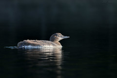 Plongeon huard - Common loon (sandra bourgeois) Tags: wild wildlife canon passion canada québec faune nature baby huards oiseaux birds