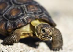 Sonoran Desert Tortoise (Tomingramphotography.com) Tags: sonorandeserttortoise tortoise desert arizona nikon d5