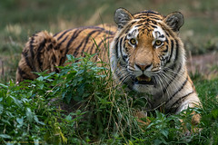 Arila (gosammy1971) Tags: amurtiger sibirischertiger august 2018 zoo duisburg arila