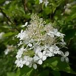 Au jardin, les rois de l'été hydrangea paniculata