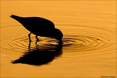 Least Sandpiper Silhouette (Daniel Cadieux) Tags: sandpiper leastsandpiper feed feeding reflection silhouette ripple ripples orange ottawa ottawariver shorebird circles