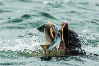 Salmon fishing bottlenose dolphin